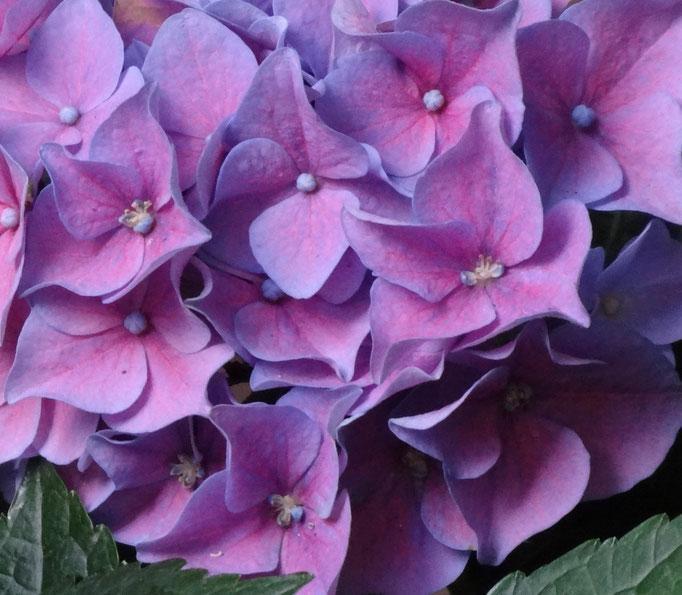die plfegeleichte Hortensie ist aus unseren Gärten nicht mehr wegzudenken