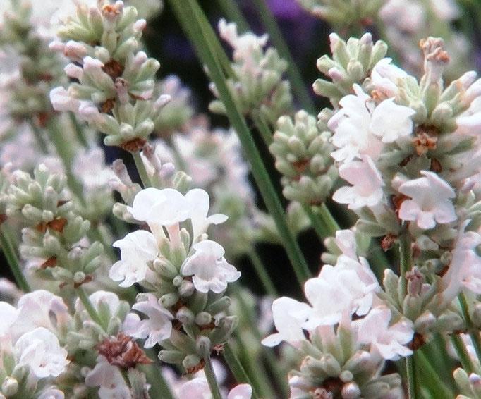 weißer Lavendel sorgt für einen kühlen Garten