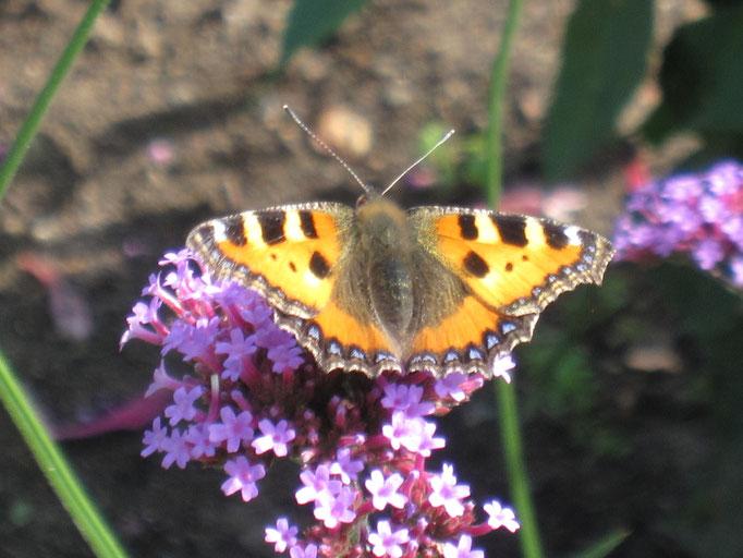 Schmetterlinge stecken ihre Rüssel gerne in Argentinisches Eisenkraut