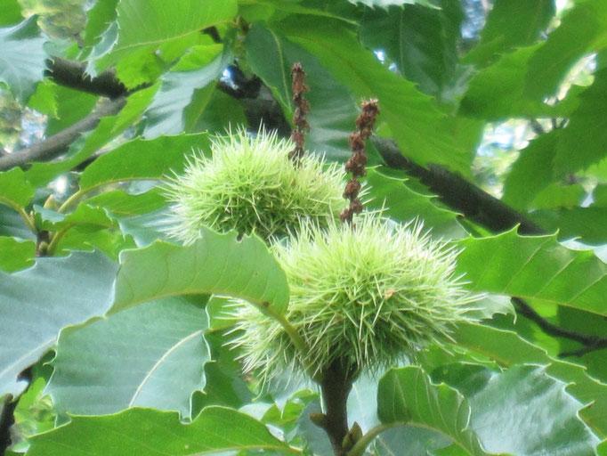 die Früchte der Marone geben im Spätsommer ein schönes Bild ab