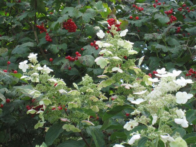rote Beeren und weiße Blüten - ein schöner und lebhafter Kontrast
