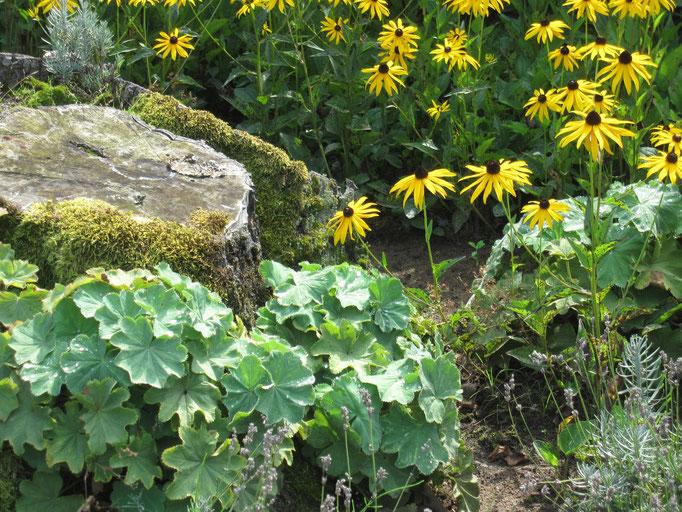 Frauenmantel, Sonnenhut und bemooste Steine im naturnahen Garten