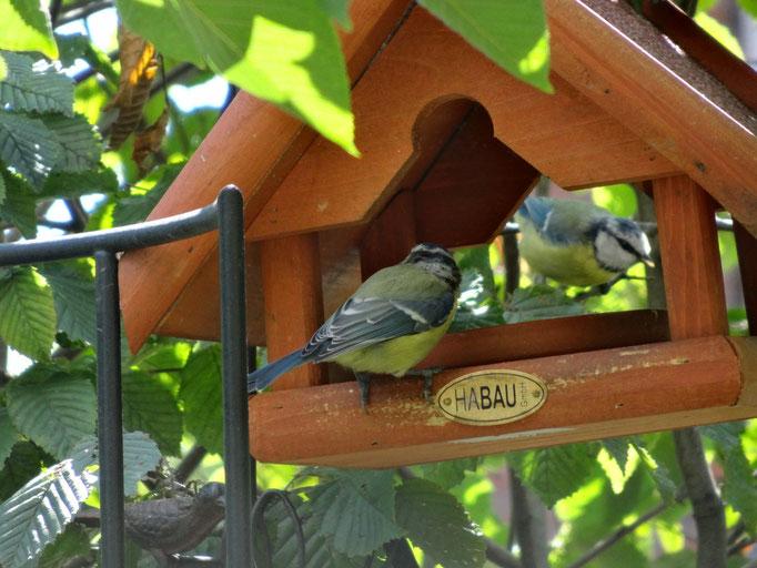 Singvögel bereichern unser Gartenleben