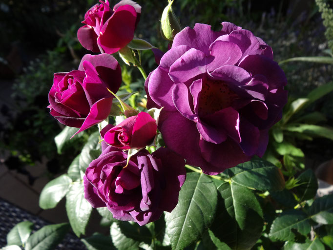 Rhapsody in Blue - eine schöne violette Rosen auch für den kleinen Garten