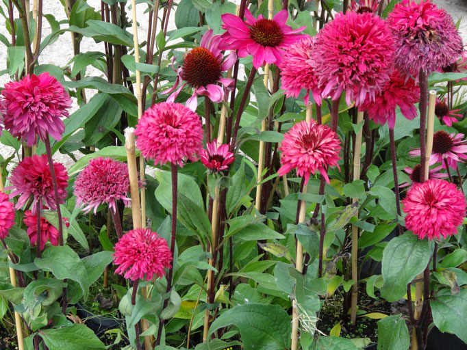 Echinacea in pink