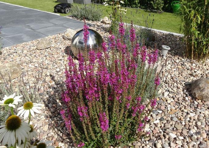 Blütensalbei und Kieselsteine im sonnigen Steingarten