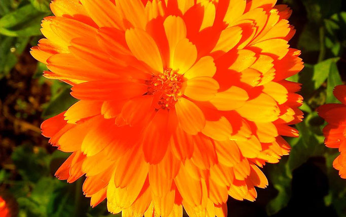 Kraftvolle Ringelblume - mild und wundheilend.