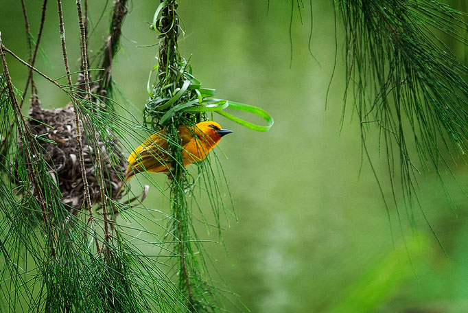 Weaver Bird, Kakum Nationalpark, Ghana.