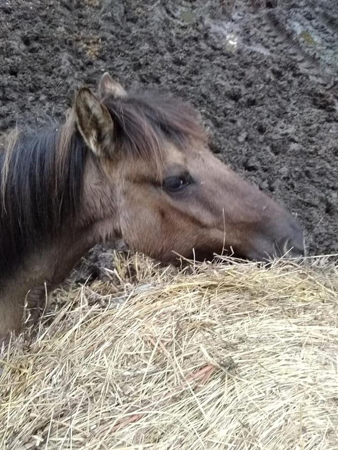 pour les poneys du club, c'est sieste et goûter à volonté...
