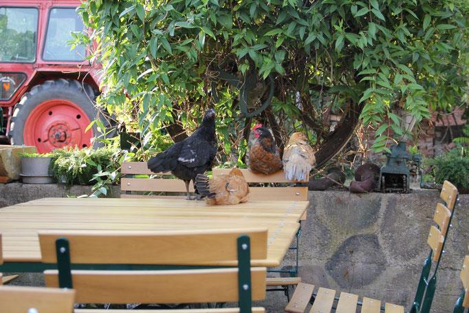 Hühner auf dem Tisch