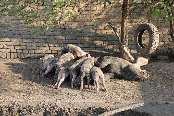 Unsere Schweinebande