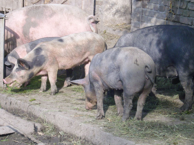 Schweine beim Auslauf