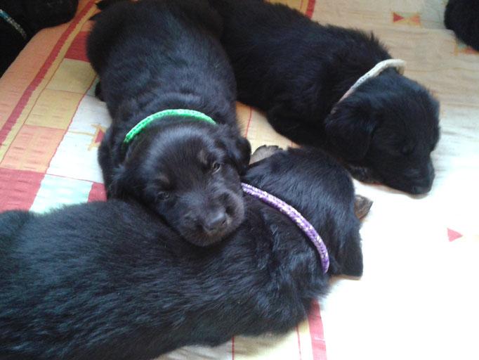 Amon(grün), Alfons(lila) und Anka(weiß)
