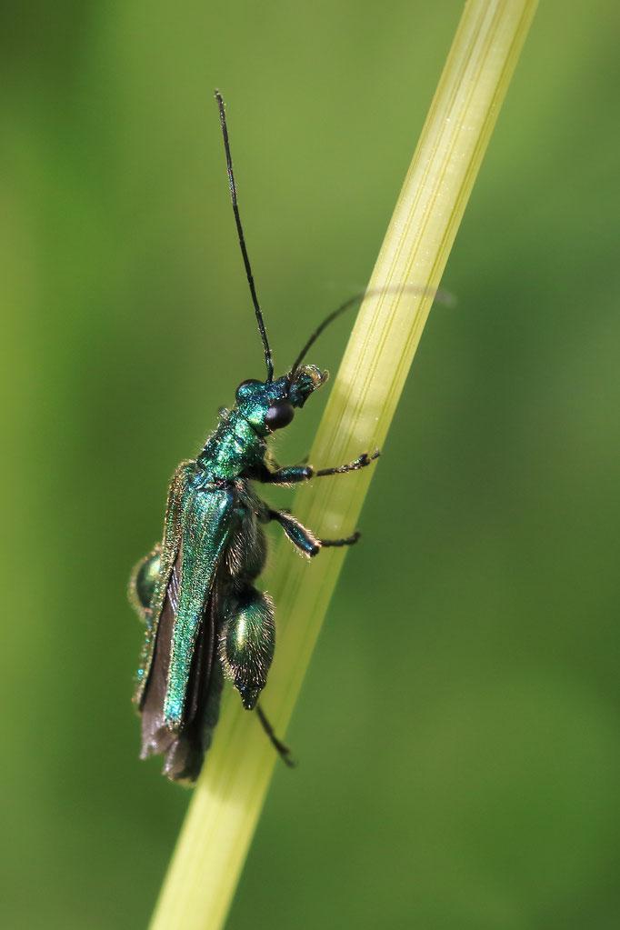 Grüner Schenkelkäfer (Oedemera nobilis)
