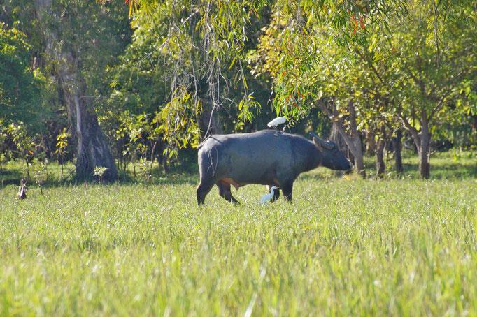 Die Feuchtgebiete im Kakadu National Park sind saftig grün, mit vielen exotischen Vögeln, Krokodilen und Wasserbüffeln.
