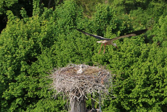 Storch 3.6.21 Boschhorn / Störche in Ichenhausen