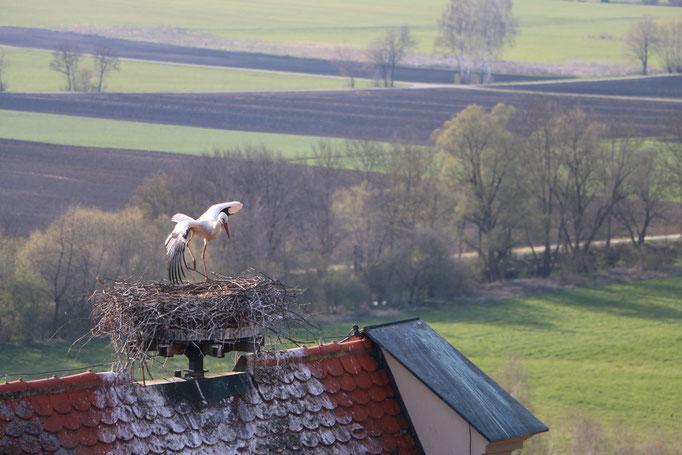 Storch Schloss 16.4.21 FEZ / Störche in Ichenhausen