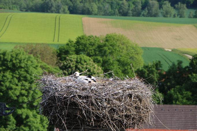 Storch 3.6.21 Unterrohr / Störche im Kammeltal