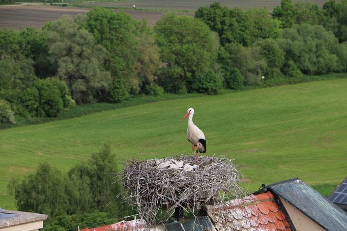 Storch 3.6.21 Schloß / Störche in Ichenhausen