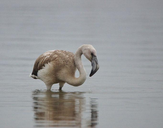 Chileense flamingo (Phoenicopterus chilensis) - Oostende, België