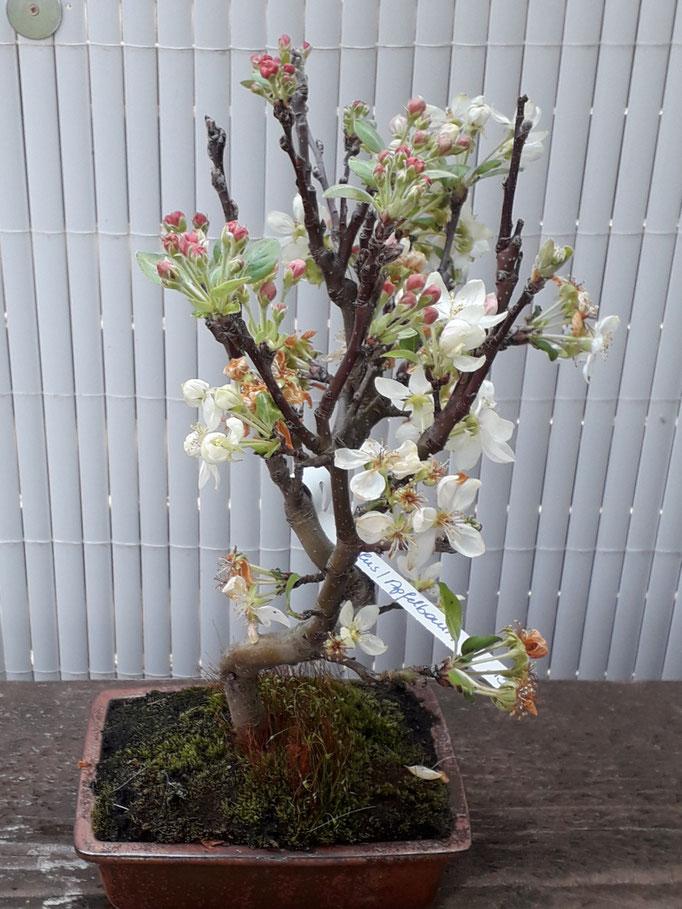 Malus/Apfelbaum