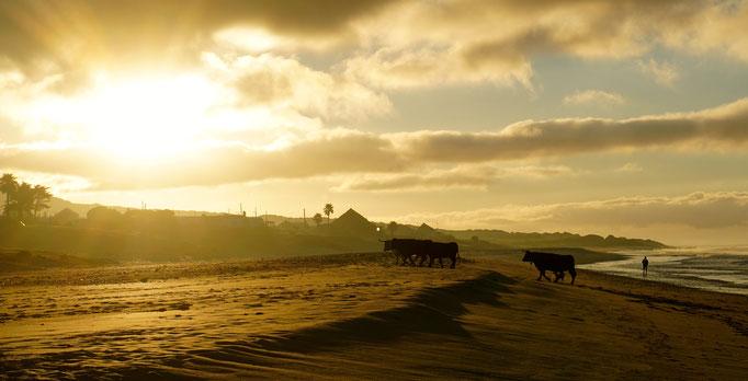 Strandwanderung der heimischen Rinder am Playa de Bologna