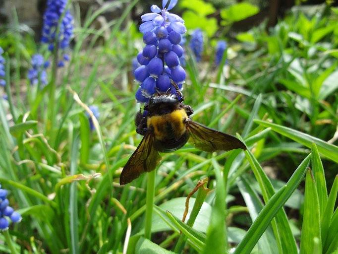 クマバチ 蜜を吸う