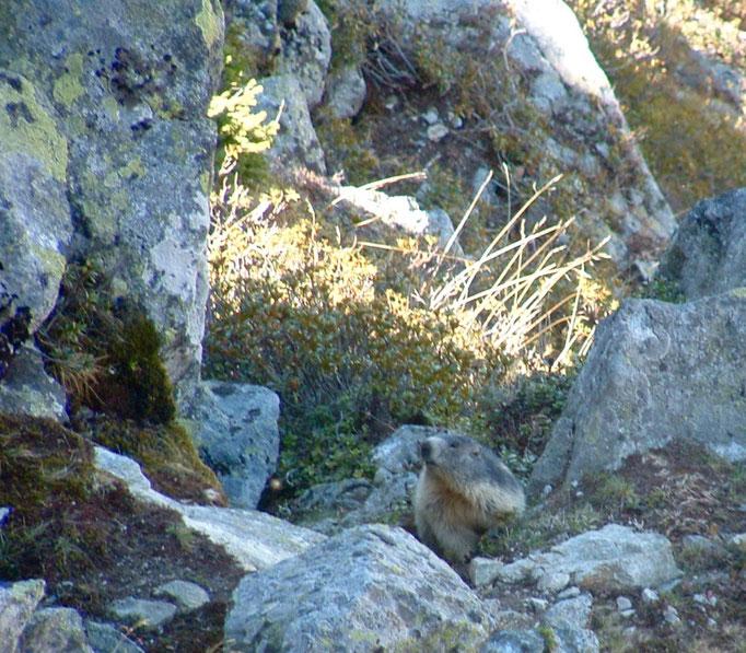 Marmotte qui pointe son nez