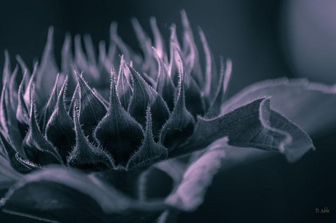 Sonnenblume (Teiltonung), Elmlohe