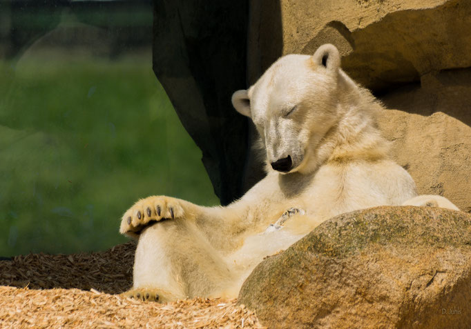 Schlafender Eisbär, Zoo am Meer Bremerhaven