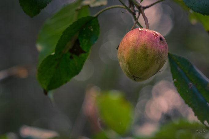 Apfelbaum, Elmlohe