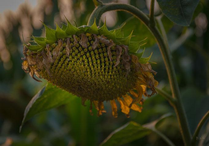 Sonnenblume, Elmlohe