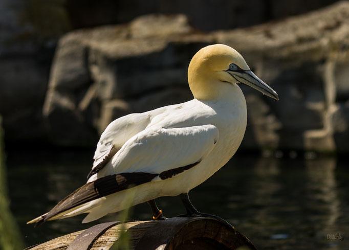 Basstölpel, Zoo am Meer Bremerhaven
