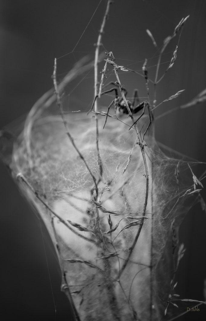 Spinne, Ahlenmoor