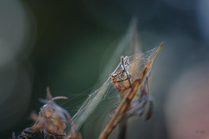 Spinnweben, Kührstedt
