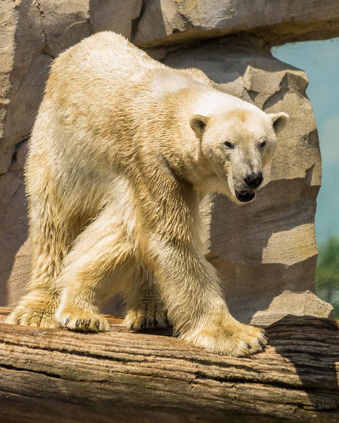 Eisbär, Zoo am Meer Bremerhaven