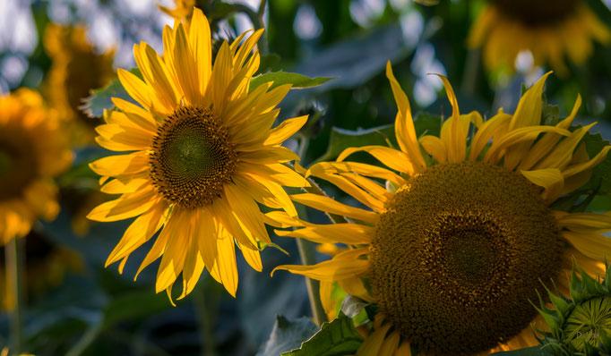 Sonnenblumen, Elmlohe