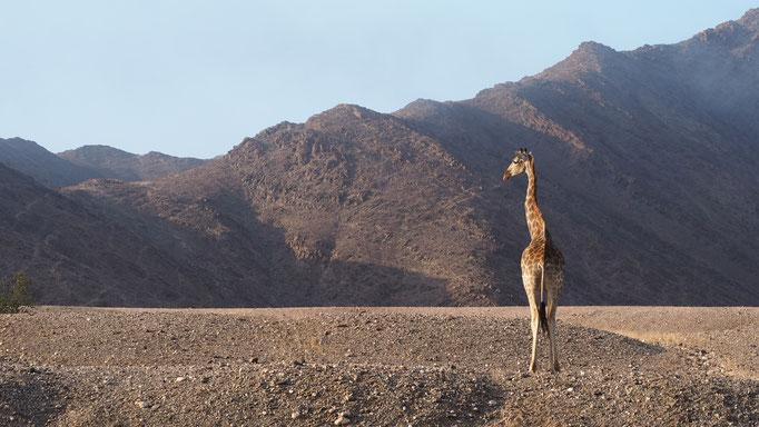 Girafe ; Hoanib ; Namibie. Nature Maxime Lelièvre