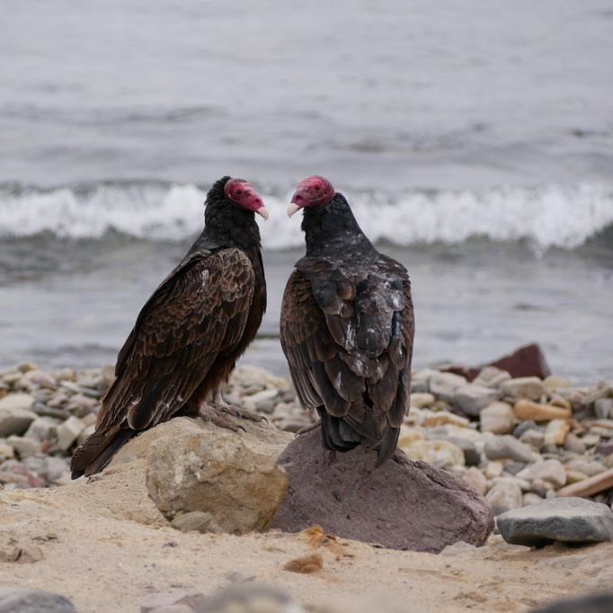 Urubus à tête rouge en route vers San Evaristo ; Basse-Californie ; Mexique. Voyage Maxime Lelièvre