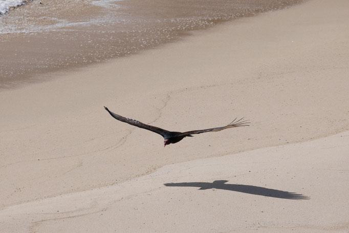 Urubu à tête rouge au nord de la Paz ; Basse-Californie ; Mexique. Voyage Maxime Lelièvre