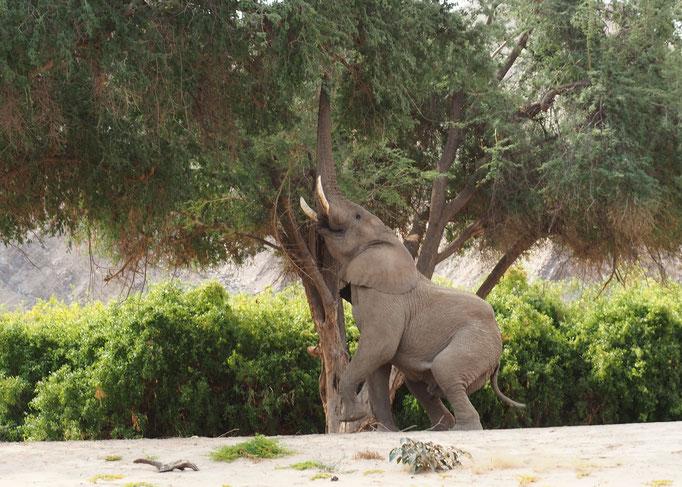 Eléphants ; Hoanib ; Namibie. Nature Maxime Lelièvre