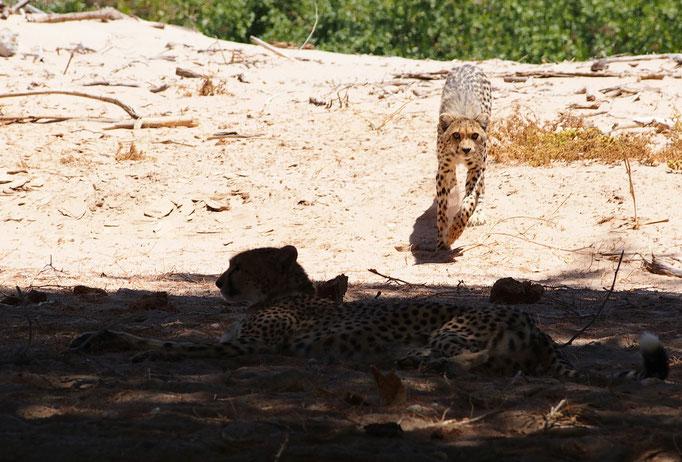 Guépards ; Hoanib ; Namibie. Nature Maxime Lelièvre