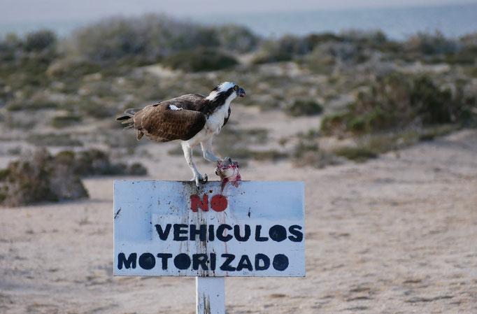 Balbuzard pêcheur ; Ojo de Liebre ; Basse-Californie ; Mexique. Voyage Maxime Lelièvre