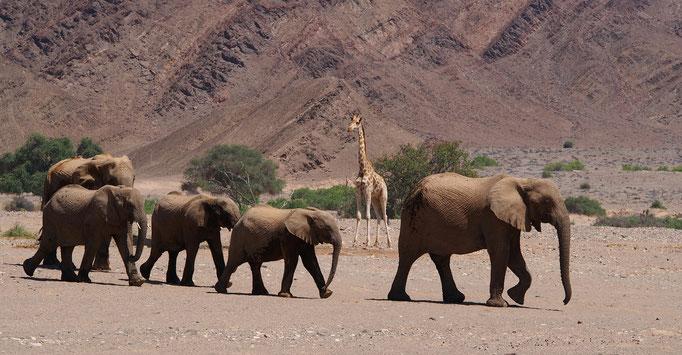 Eléphants du désert et girafe ; Hoanib ; Namibie. Nature Maxime Lelièvre