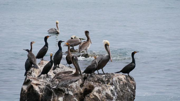 Cormorans et pélicans en route vers San Evaristo ; Basse-Californie ; Mexique. Voyage Maxime Lelièvre