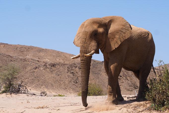 Eléphant du désert ; Hoanib ; Namibie. Nature Maxime Lelièvre
