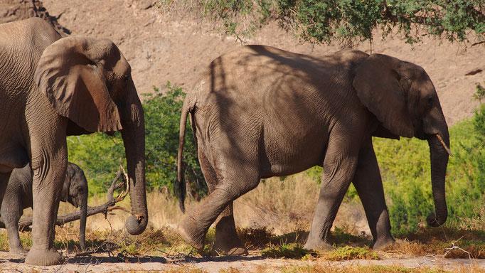 Eléphants du désert ; Hoanib ; Namibie. Nature Maxime Lelièvre