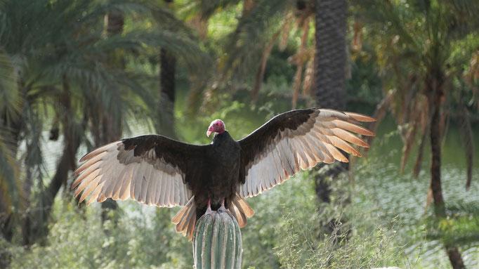 Urubu à tête rouge au sud de la Paz ; Basse-Californie ; Mexique. Voyage Maxime Lelièvre