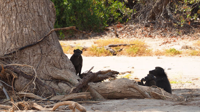 Babouin chacma ; Hoanib ; Namibie. Nature Maxime Lelièvre
