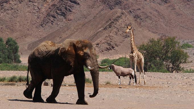 Eléphants du désert, oryx et girafe ; Hoanib ; Namibie. Nature Maxime Lelièvre